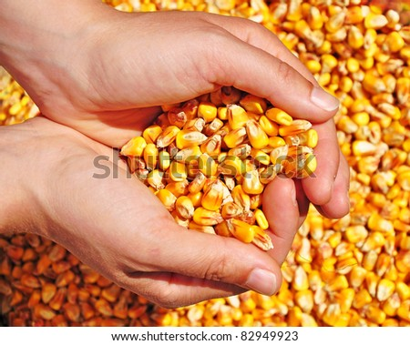 Corn seed in hands of farmer, agriculture, commodity. - stock photo