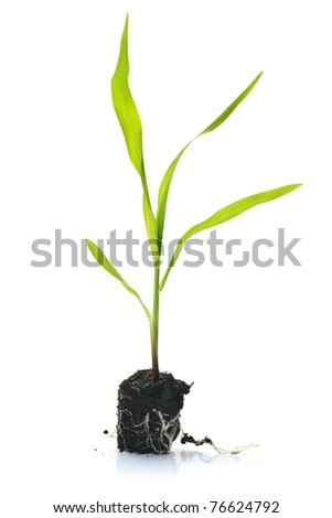 Corn seedling isolated against a white background - stock photo