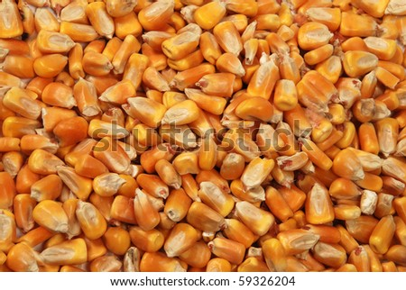 corn seeds close up as background - stock photo