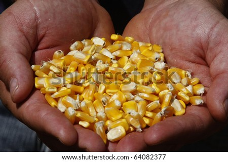 corn seeds in a farmer hand - stock photo
