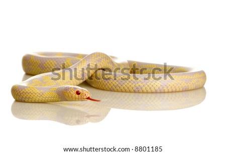Corn Snake - Elaphe guttata in front of a white background - stock photo