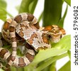 Corn Snake in front of a white background - stock photo