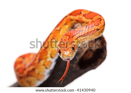 Corn snake on a branch isolated on white background - stock photo