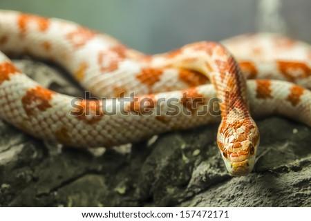corn snake on a rock. - stock photo