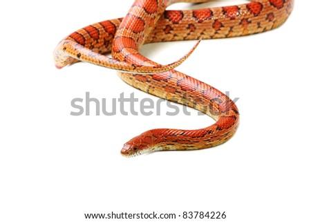 Corn snake on the white background (Elaphe guttata) - stock photo