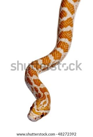 Corn snake or red rat snake, Pantherophis guttattus, slithering against white background - stock photo