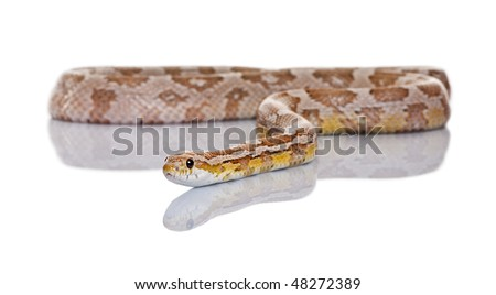 Corn snake or red rat snake, Pantherophis guttatus, slithering against white background - stock photo
