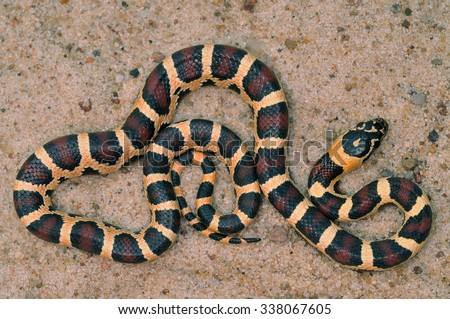 Corn snake Pantherophis guttatus - stock photo