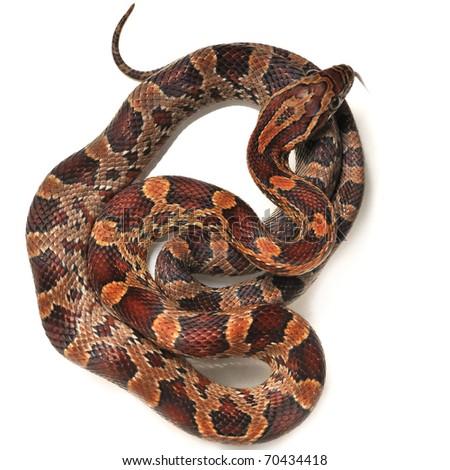 Corn snake - Pantherophis guttatus - stock photo