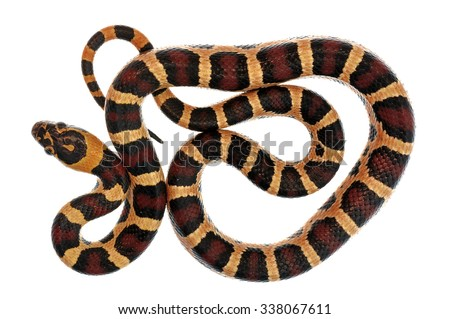 Corn snake Pantherophis guttatus isolated on white. - stock photo