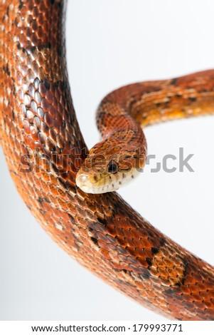 Corn snakes - stock photo