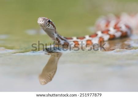 Corn snakes (Elaphe guttata)  - stock photo