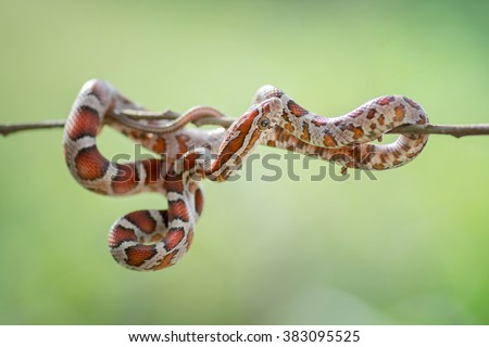 Corn snakes (Elaphe guttata).Image has grain or blurry or noise and soft focus when view at full resolution. (Shallow DOF, slight motion blur)  - stock photo