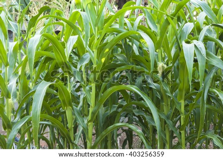 Corn stalks and corn