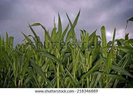 Corn stalks at dusk - stock photo