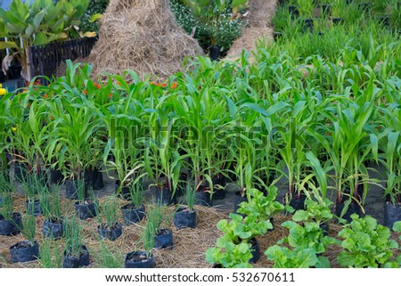 corn tree green growth agriculture nature