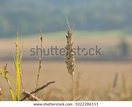 Corn with diffuse field and forest in the background.