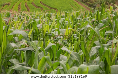 Corn with rice terraces as a background.