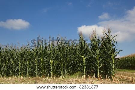 Cornfield against a blue sky - stock photo