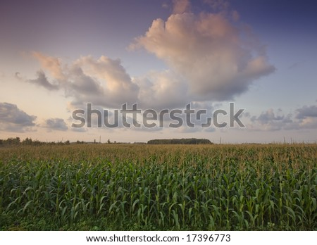 Cornfield and The Sky during sunset - stock photo