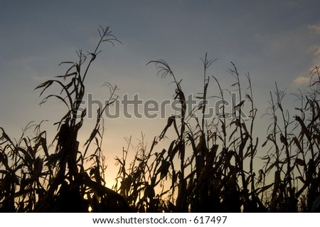 cornfield at sunset - stock photo
