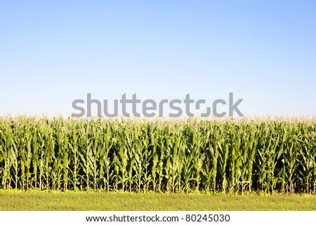 cornfield corn field - stock photo