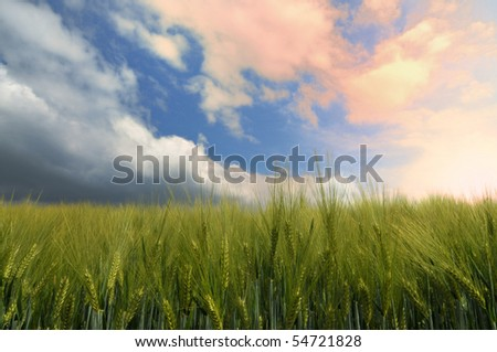Cornfield in a early phase in a sunset - stock photo