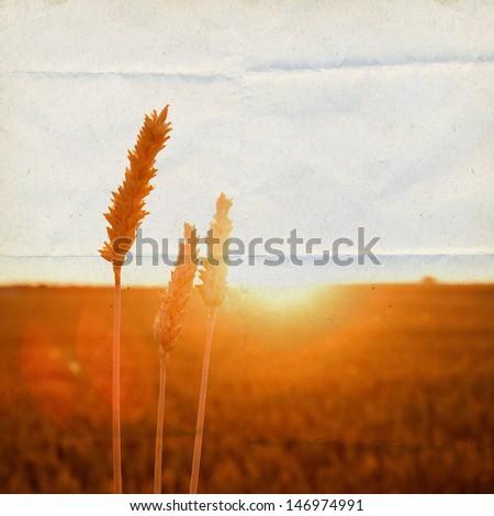 cornfield in golden sunlight  - stock photo