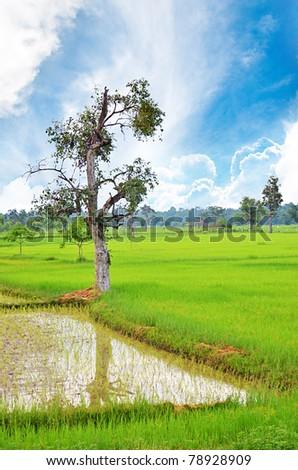 Cornfield in Thailand - stock photo