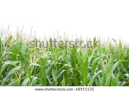 Cornfield isolated on white background - stock photo