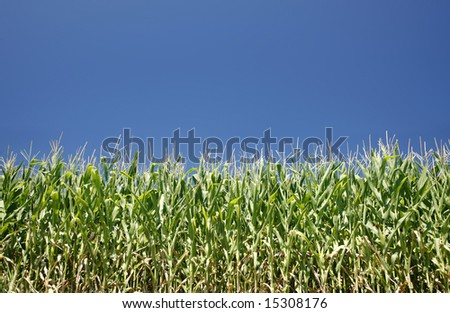 Cornfield on a bright summer day - large XXL file shot with a 21 megapixel camera