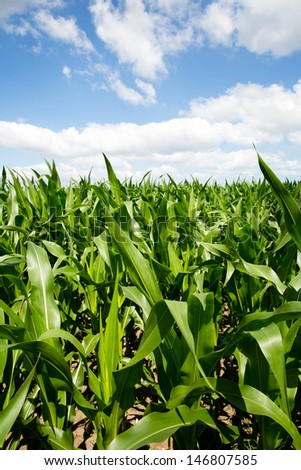 cornfield on a sunny day  - stock photo