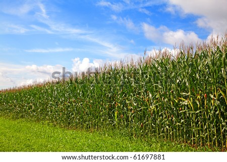 Cornfield under a blue sky with some clouds - stock photo