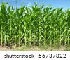 Cornfield with Clouds on Bright Summer Day - stock photo