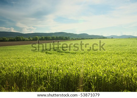 Cornfield with cloudy sky