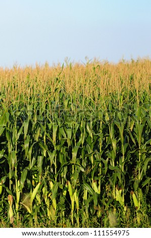 Cornfield with mature cornstalks against a blue sky - stock photo