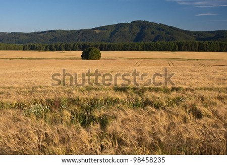 cornfield with mountain in background
