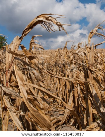 cornfields landscape - stock photo