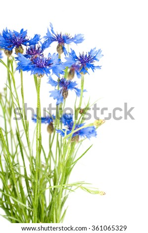 Cornflower. Bouquet of wild blue flowers. Isolated - stock photo