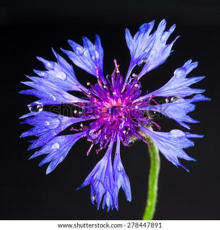 cornflower centaurea isolated on a black - stock photo
