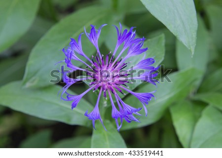 Cornflower decorative flower on the city flowerbed. Other name: Centaurea cyanus. Cornflower blue color is one of the favorite color of Dutch painter Johannes Vermeer. - stock photo