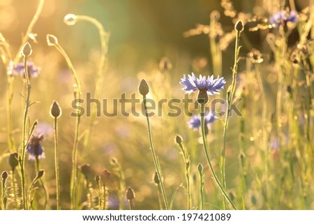 Cornflower in the field backlit by the setting sun. - stock photo