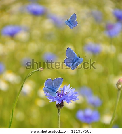 Cornflower in the field with them flying butterflies - stock photo
