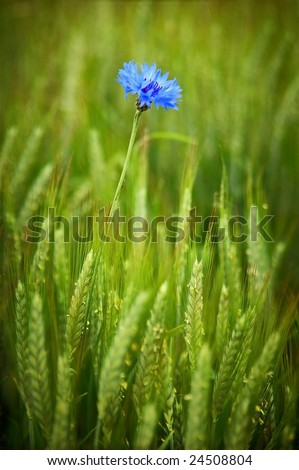 Cornflower in the middle of a field.