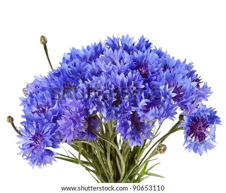cornflower isolated on a white - stock photo