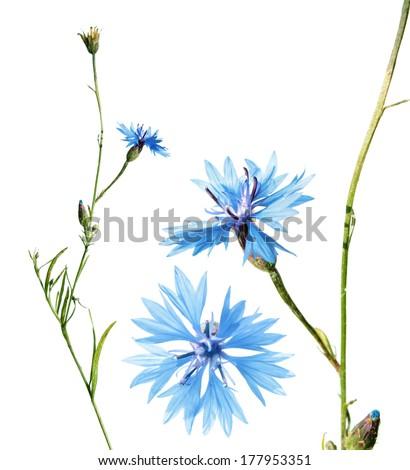 Cornflower isolated on white - stock photo