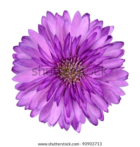 Cornflower like Pink and Purple Flower Isolated on White Background - stock photo