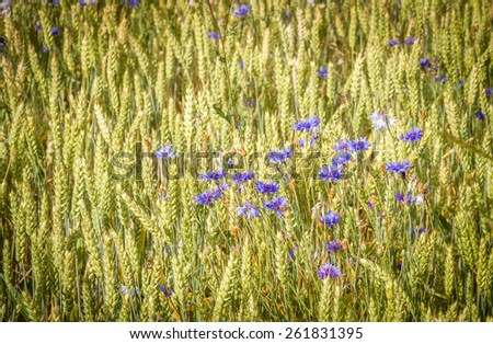 Cornflowers and wheat - stock photo