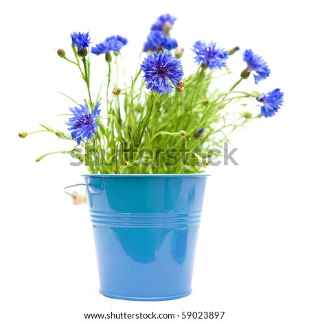 cornflowers in bright blue ornamental bucket isolated on white - stock photo