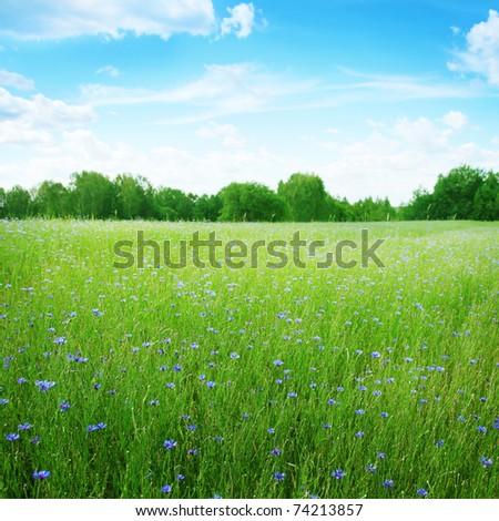 Cornflowers in wheat field under blue sky. - stock photo